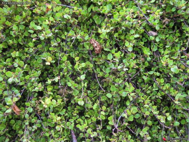 Muehlenbeckia - le genre  - Page 2 GBPIX_photo_367756