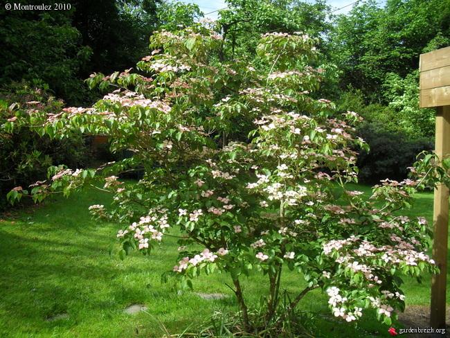 Cornus florida - cornouiller à fleurs  - Page 2 GBPIX_photo_373701