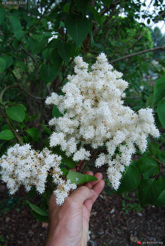 Syringa reticulata subsp. pekinensis - lilas de Pékin GBPIX_photo_381115