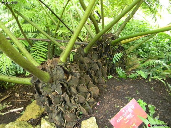 fougères arborescentes  - Page 4 GBPIX_photo_393632