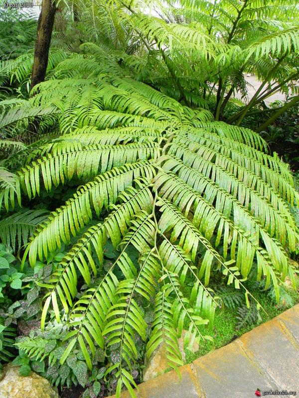 fougères arborescentes  - Page 4 GBPIX_photo_393674