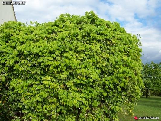 Lardizabalaceae grimpantes GBPIX_photo_42875