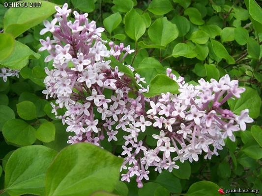 Syringa pubescens 'Palibin' GBPIX_photo_48874