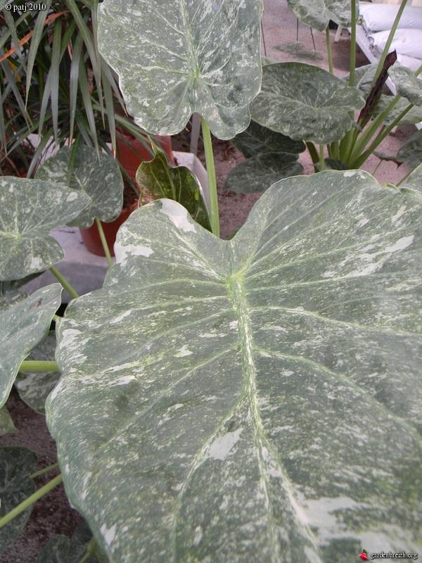 Alocasia wentii 'Variegata '  GBPIX_photo_405190