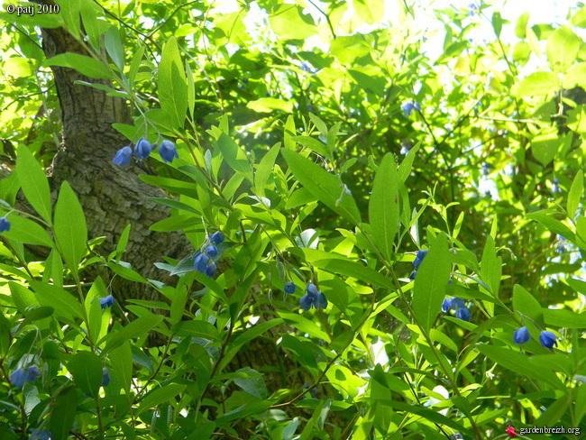 Billardiera longiflora - liane aux poivrons bleus GBPIX_photo_412497