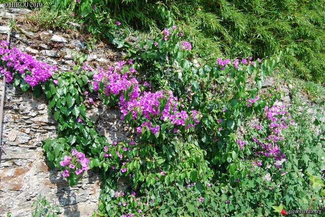 Bougainvillea x specto-glabra - Page 2 GBPIX_photo_413595