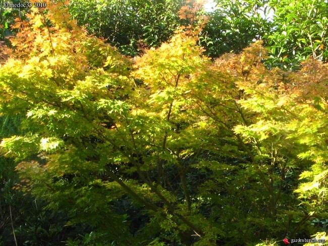 Acer palmatum 'Sango-Kaku' - érable du japon 'Senkaki' GBPIX_photo_426270