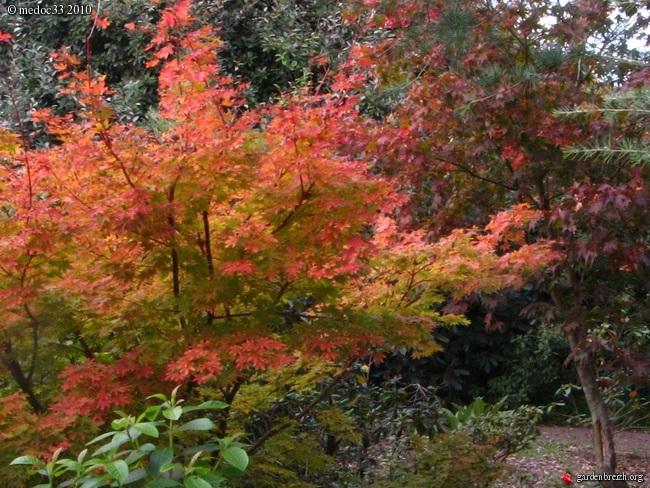 Acer palmatum 'Sango-Kaku' - érable du japon 'Senkaki' GBPIX_photo_428177