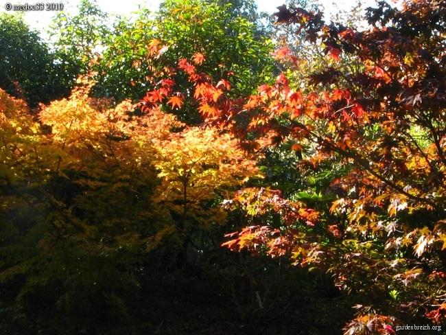 Acer palmatum 'Sango-Kaku' - érable du japon 'Senkaki' GBPIX_photo_430291