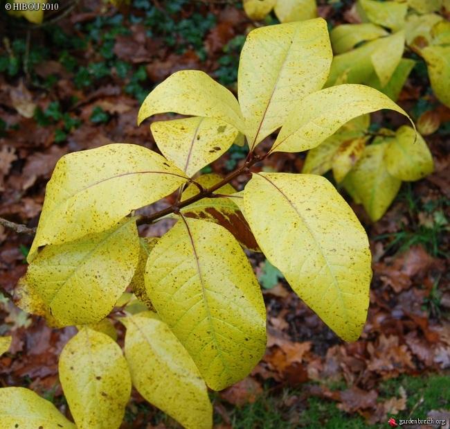 Chionanthus virginicus - chionanthe de Virginie GBPIX_photo_440629
