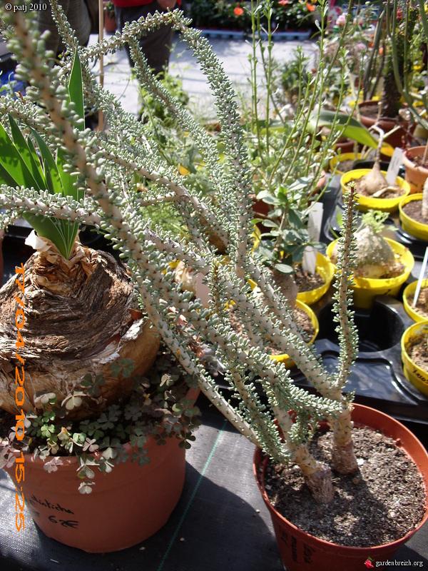 Portulacaria namaquensis (= Ceraria namaquensis) GBPIX_photo_441074