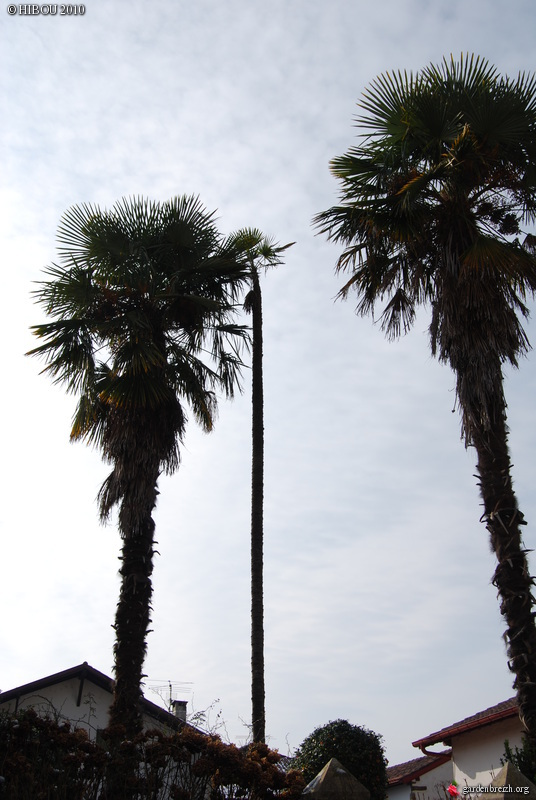 Trachycarpus fortunei GBPIX_photo_442796