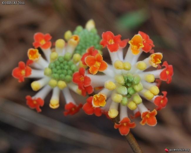 Edgeworthia chrysantha 'Akebono' GBPIX_photo_457824