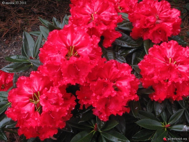 Rhododendron - espèces, variétés, floraisons GBPIX_photo_464207