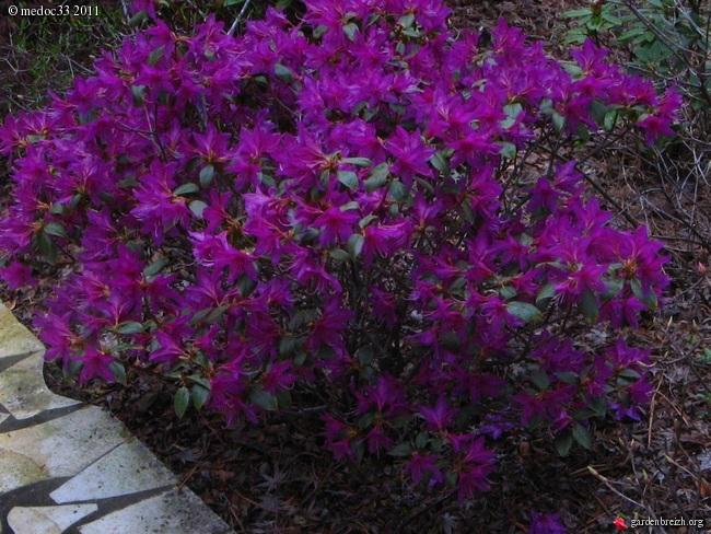 Rhododendron - espèces, variétés, floraisons GBPIX_photo_464899