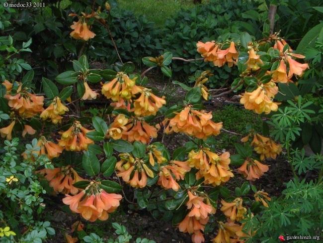 Rhododendron - espèces, variétés, floraisons GBPIX_photo_466576