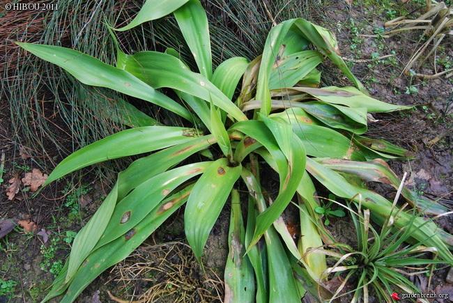 beschorneria - Beschorneria septentrionalis GBPIX_photo_467223