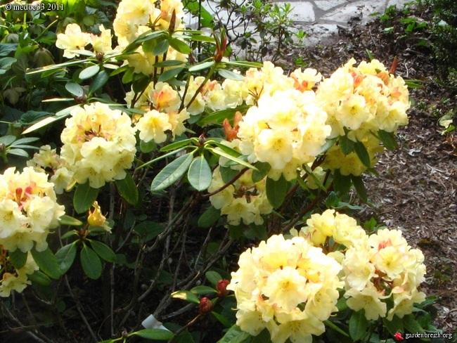 Rhododendron - espèces, variétés, floraisons GBPIX_photo_468155