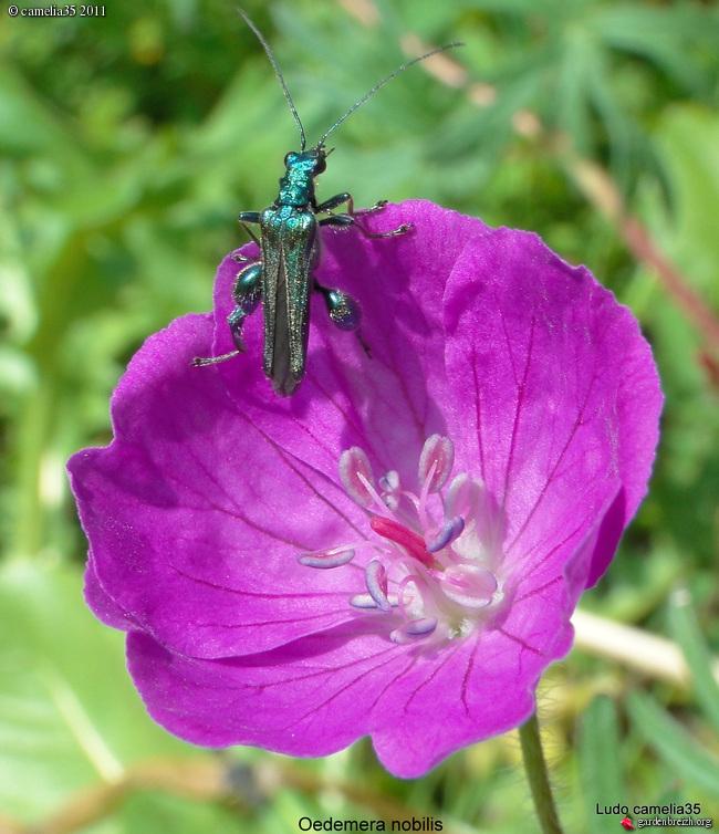 Quelques macros d'insectes - Page 2 GBPIX_photo_470588
