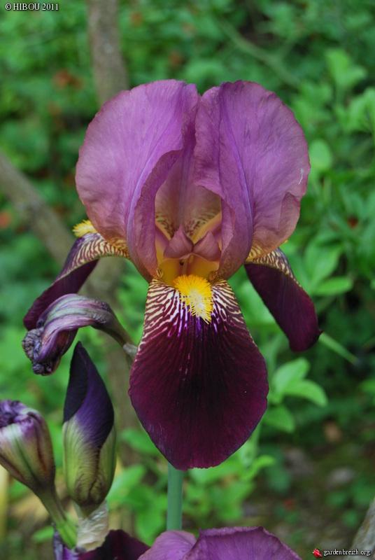 Les iris -culture, multiplication, entretien, variétés. - Page 2 GBPIX_photo_470922