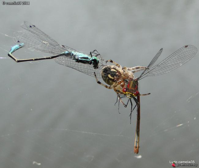 Quelques macros d'insectes - Page 2 GBPIX_photo_471151