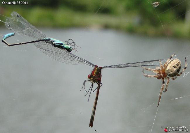 Quelques macros d'insectes - Page 2 GBPIX_photo_471153