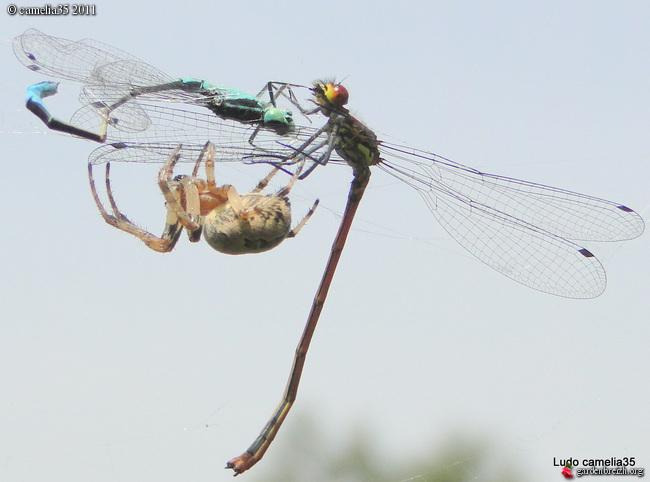 Quelques macros d'insectes - Page 2 GBPIX_photo_471154