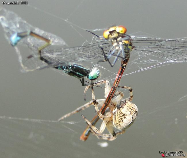 Quelques macros d'insectes - Page 2 GBPIX_photo_471155