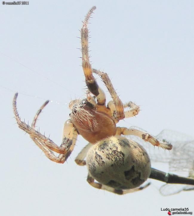Quelques macros d'insectes - Page 2 GBPIX_photo_471156