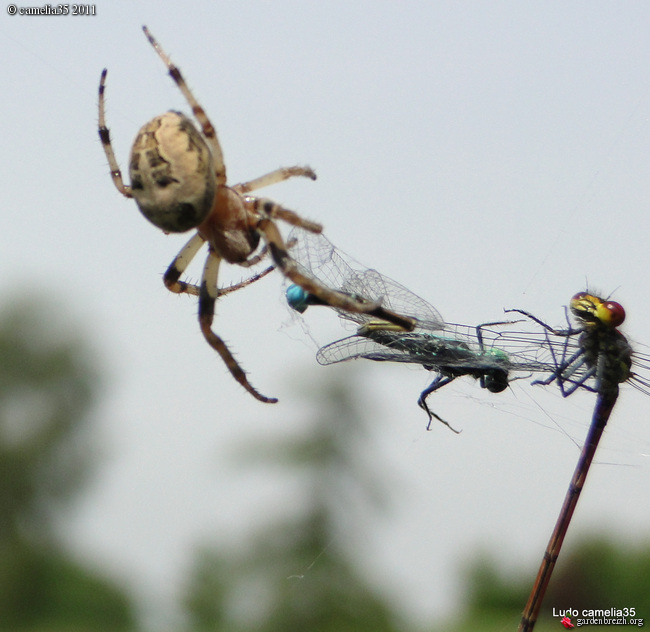 Quelques macros d'insectes - Page 2 GBPIX_photo_471157