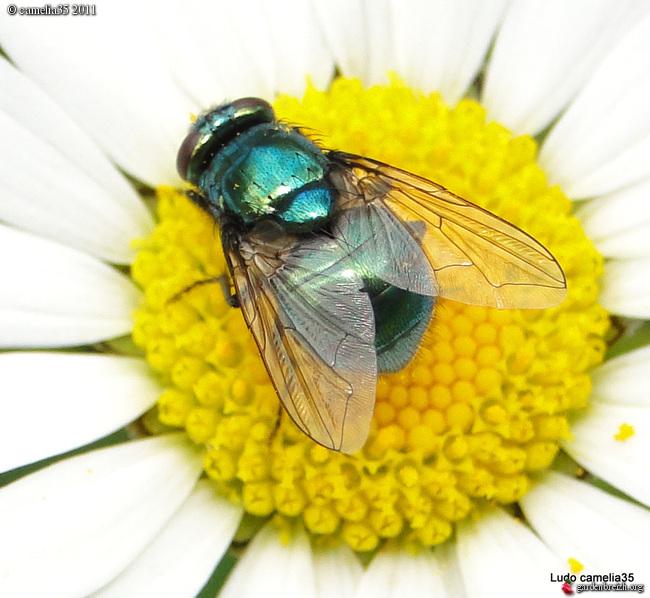 Quelques macros d'insectes - Page 2 GBPIX_photo_471434