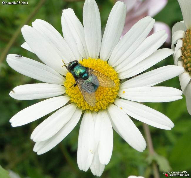 Quelques macros d'insectes - Page 2 GBPIX_photo_471435