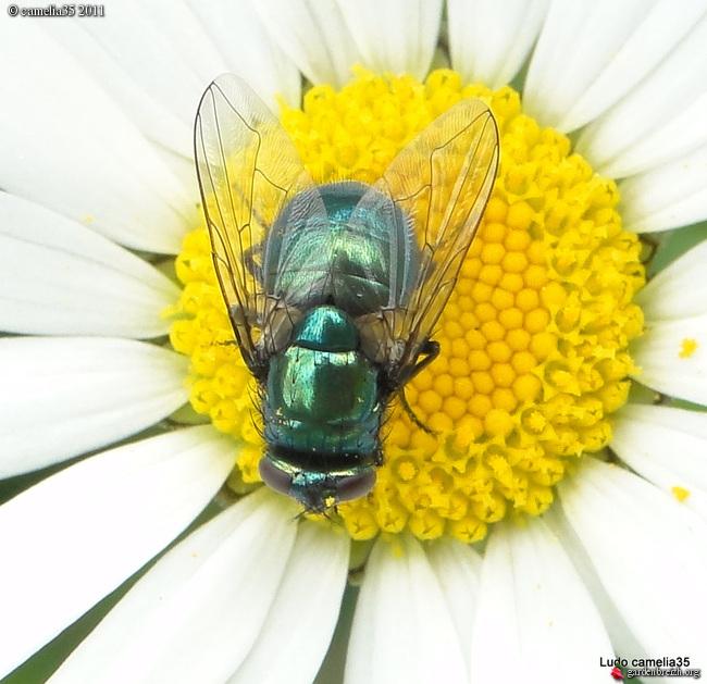 Quelques macros d'insectes - Page 2 GBPIX_photo_471436