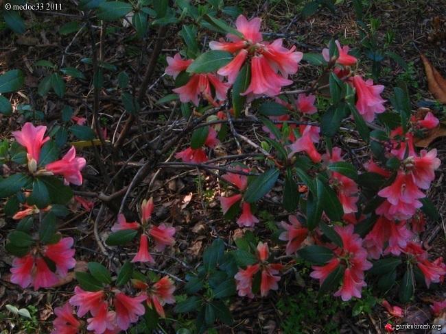 Rhododendron - espèces, variétés, floraisons GBPIX_photo_471857