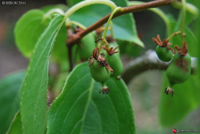 Actinidia arguta - kiwi à petit fruit, kiwaï GBPIX_photo_480341