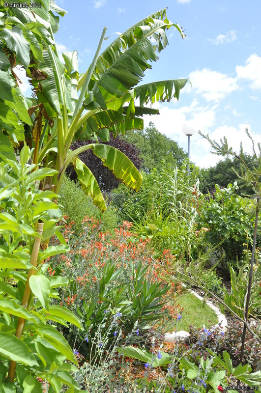 Dicliptera sericea (= Dicliptera suberecta) GBPIX_photo_485116