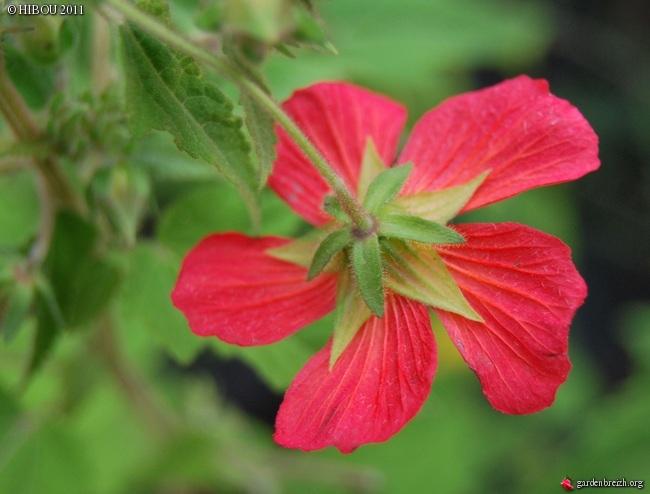 Pavonia missonium GBPIX_photo_494691