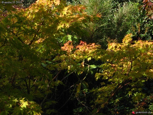 Acer palmatum 'Sango-Kaku' - érable du japon 'Senkaki' GBPIX_photo_499944