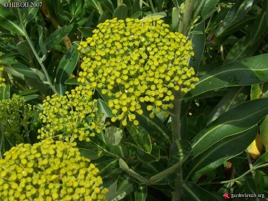 Bupleurum fruticosum - buplèvre arbustif GBPIX_photo_53903