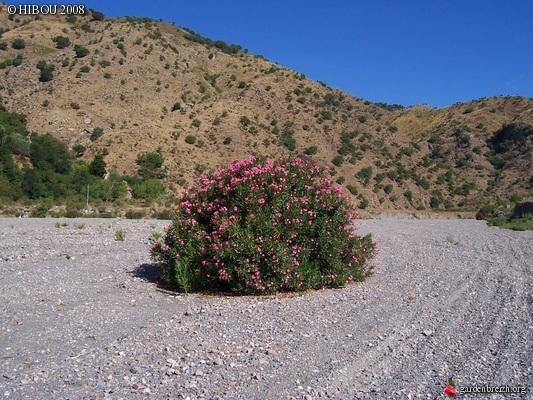 Nerium oleander - laurier rose - Page 6 GBPIX_photo_56426