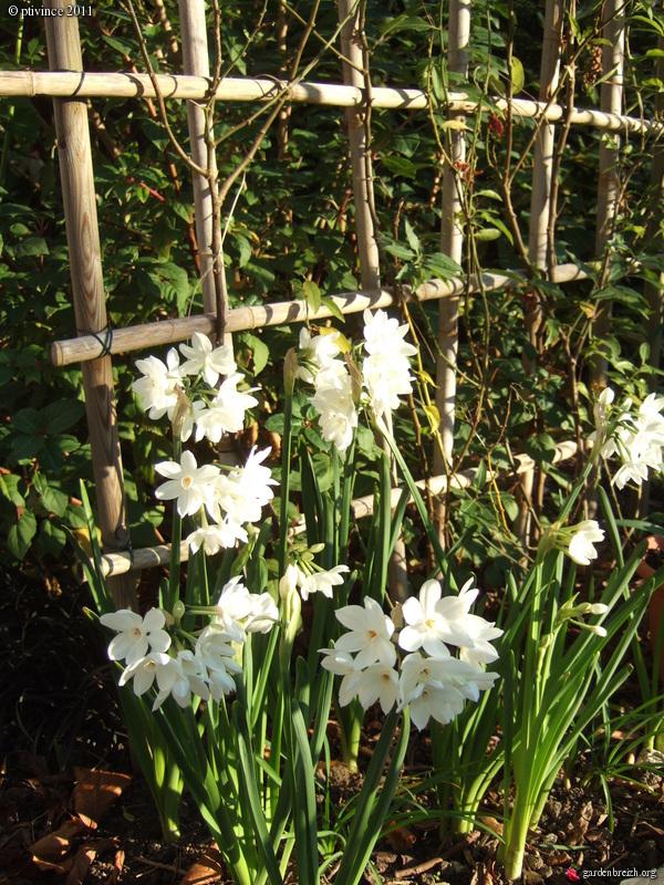 Narcissus tazetta et hybrides horticoles GBPIX_photo_505813