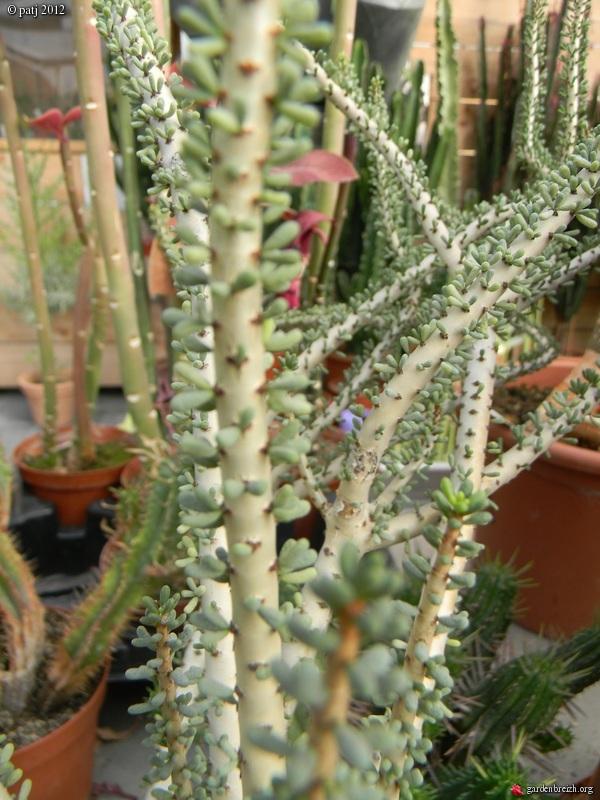 Portulacaria namaquensis (= Ceraria namaquensis) GBPIX_photo_512414