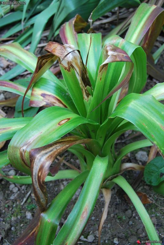 Beschorneria septentrionalis GBPIX_photo_517655