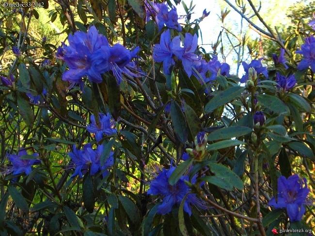Rhododendron - espèces, variétés, floraisons GBPIX_photo_518579