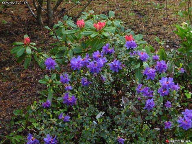 Rhododendron - espèces, variétés, floraisons GBPIX_photo_520139