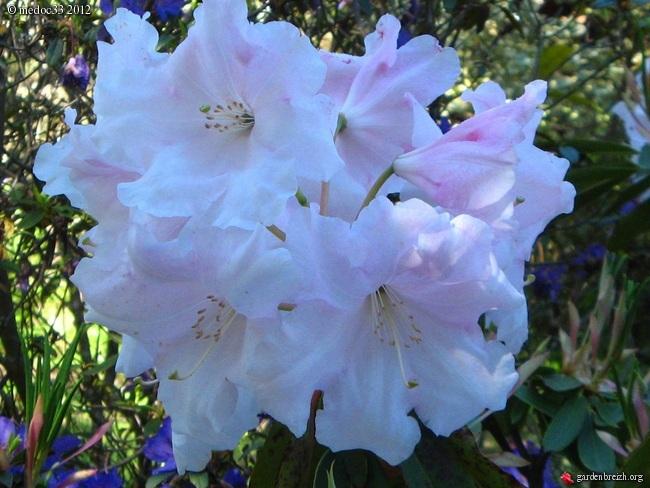 Rhododendron - espèces, variétés, floraisons GBPIX_photo_522275