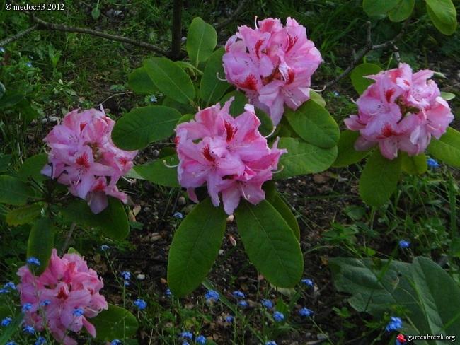 Rhododendron - espèces, variétés, floraisons GBPIX_photo_523332
