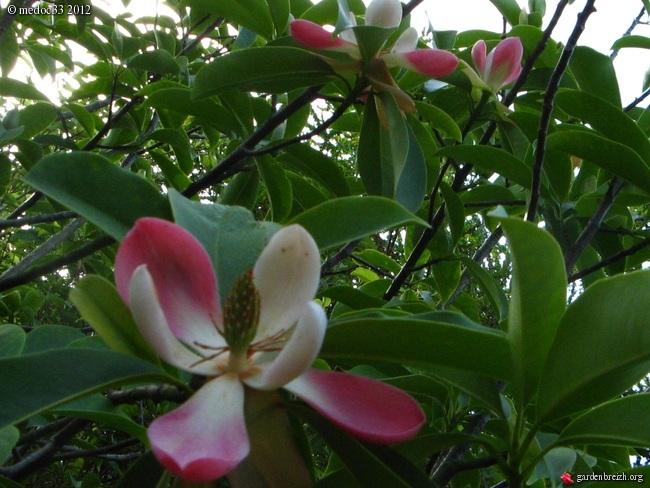 Myrsine africana, Dianella tasmanica, Osteomeles schweriniae var microphylla, Manglietia chingii [devinette] GBPIX_photo_528788