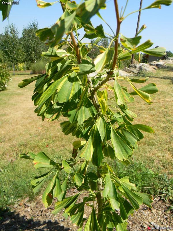 Ginkgo biloba - arbre aux quarante écus - Page 7 GBPIX_photo_538544