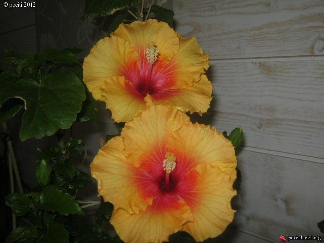Floraisons d'intérieur  - Page 2 GBPIX_photo_544301